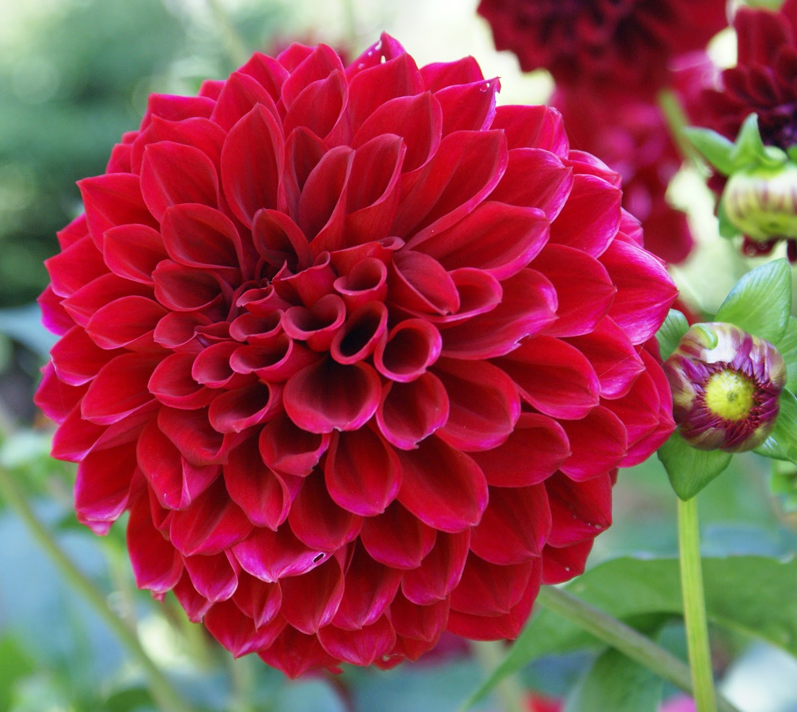Dahlia Flower Flower Homes Dahlia Flowers