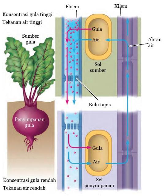 Gambar  .Pengangkutan nutrisi hasil fotosintesis pada tumbuhan