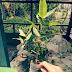 Jual Bibit Pohon Loa Harga Murah