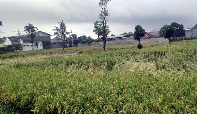 Salahsatu lahan padi setelah diterjang hujan deras