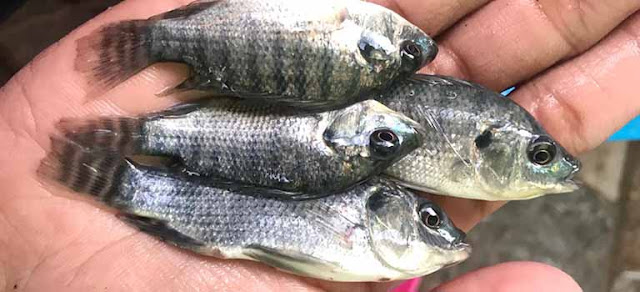Supplier Jual Ikan Nila Bibit dan Konsumsi di Serang, Banten