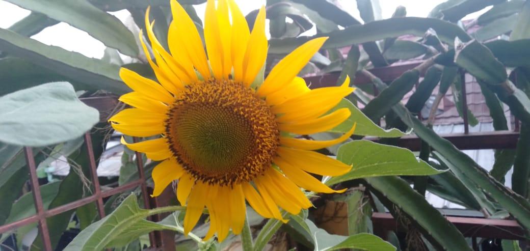 Ruliyandi Com Menanam Tanaman Bunga Matahari Di Pot Pekarangan Rumah