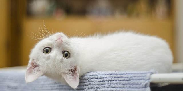 a-quel-age-un-chat-devient-calme