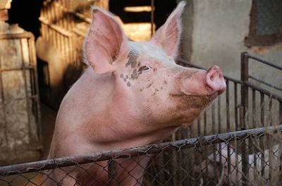 Large White pig advantages, disadvantages, litter size, growth rate, Lifespan