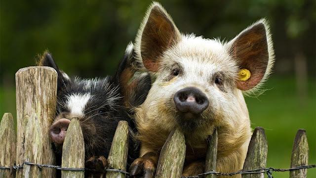 свиньи у забора