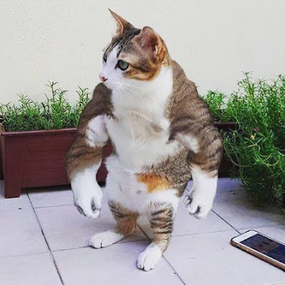 Amazing strong cathlete • Don't mess with me hooman, I'm Rocky Meowlboa! [cat-gifs.com]