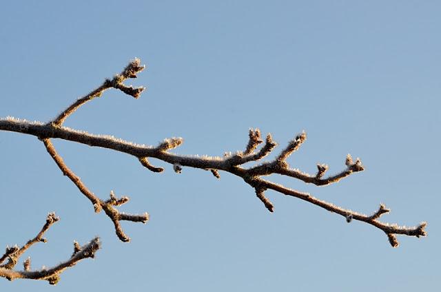 brancge bourgeons glace hiver jardin givre
