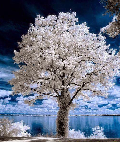 Cerejeira no Inveno
