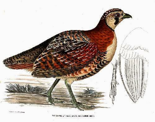 Indian birds - Tibetan partridge- Perdix hodgsoniae