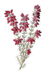 stock wildflower image heather