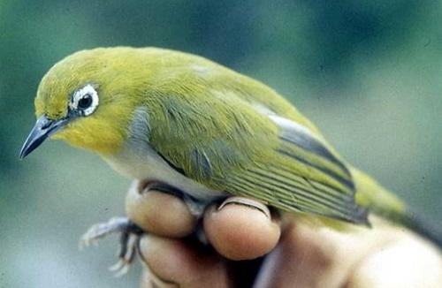 Pleci. sudah banyak yang mengetahuinya bahwa jenis burung satu ini memiliki  jenis yang sangat beraneka ragam. Salah satunya adalah jenis pleci montanus. 413dd73a08