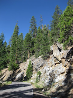 Fir trees anchored in a rocky hillside, W A Barr Road, Mt. Shasta, California
