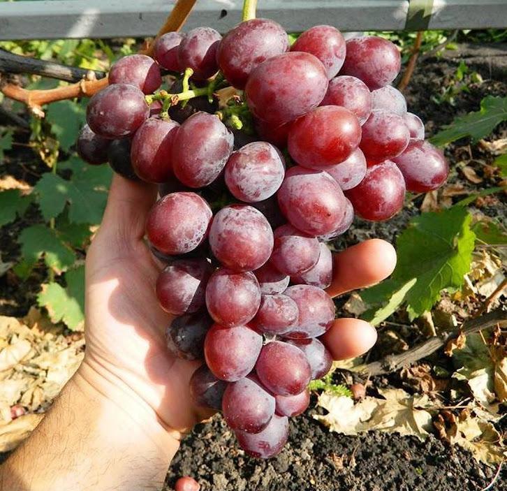 Bibit anggur import senator hasil grafting Sorong