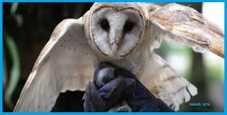 Cara Makanan Burung Hantu Celepuk & Tyto Alba