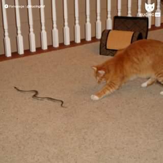 kucing oren mainan ular