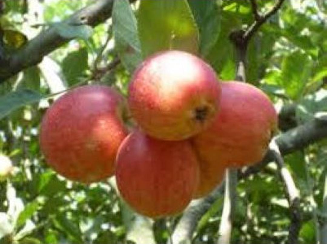 Borong Segera! Bibit Buah Apel Anna Kota Malang #jual bibit buah buahan