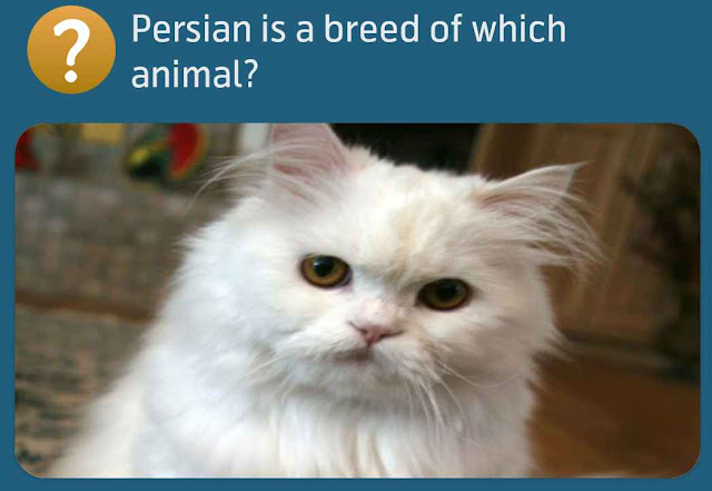 Persian is a breed of which animal?