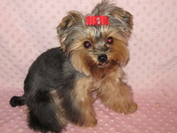 Wondrous Yorkie Hairstyles For Your Cute Dogs Cute Hair Style Short Hairstyles Gunalazisus
