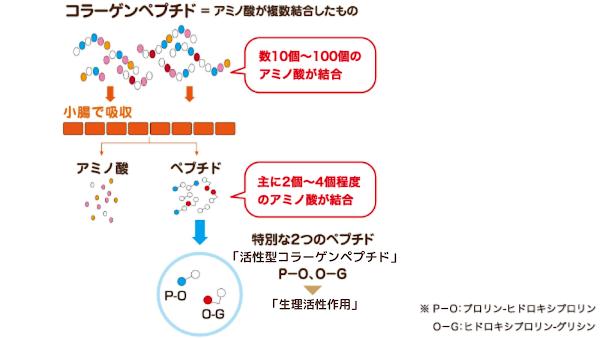 コラーゲンペプチドのメカニズム