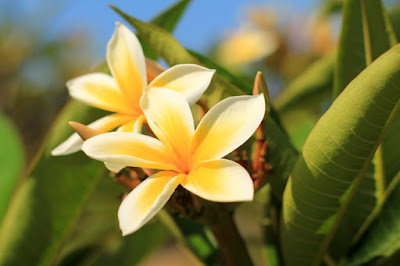 Frangipani Trees Macro Photo
