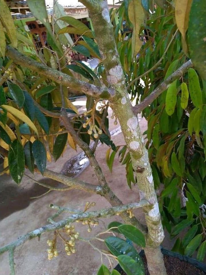 Bibit durian Musangking kaki 3 okulasi cepat berbuah Sumatra Utara