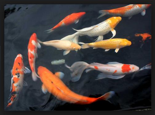 Fakta Informasi Seputar Ikan Koi