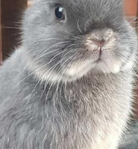 Polish Rabbit vs Netherland Dwarf Personality, Temperament, Size, Lifespan, Price