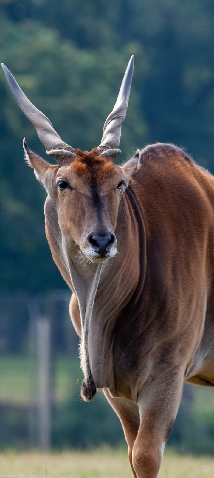 Picture of a common eland.
