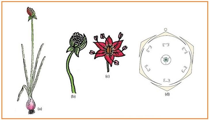 Biologi gonzaga july 2015 tumbuhan allium cepa bawang a tanaman b perbungaan c bunga d diagram bunga ccuart Gallery
