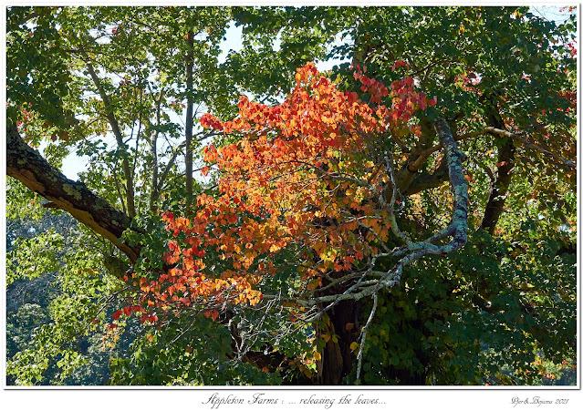 Appleton Farms: ... releasing the leaves...