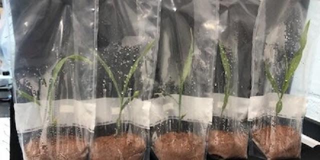 Microbes play role in corn 'hybrid vigor'