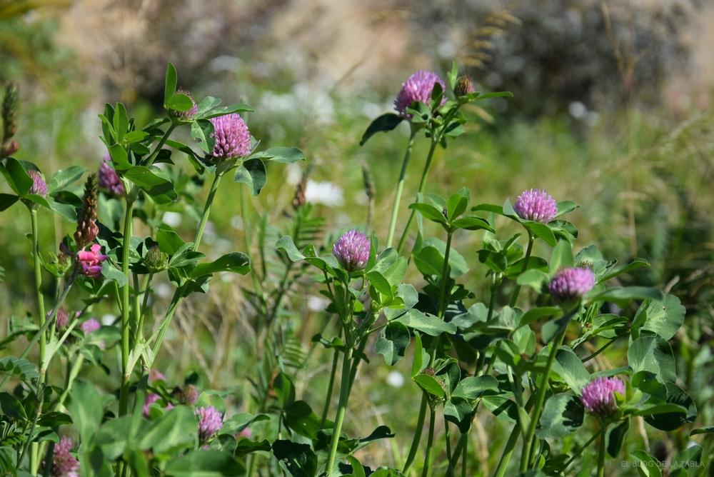 Trifolium pratense, trebol rojo, plantas forrajeras