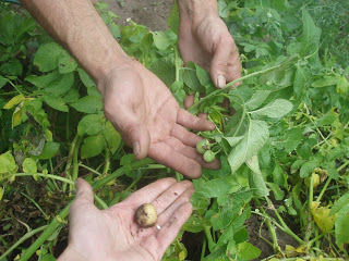 Πατάτες που δεν μεγαλώνουν
