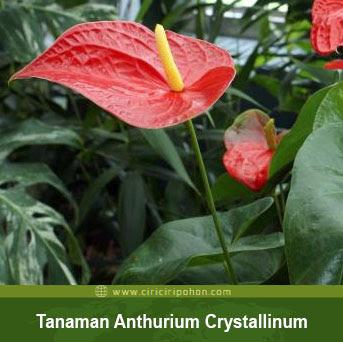 Bunga Anthurium Crystallinum