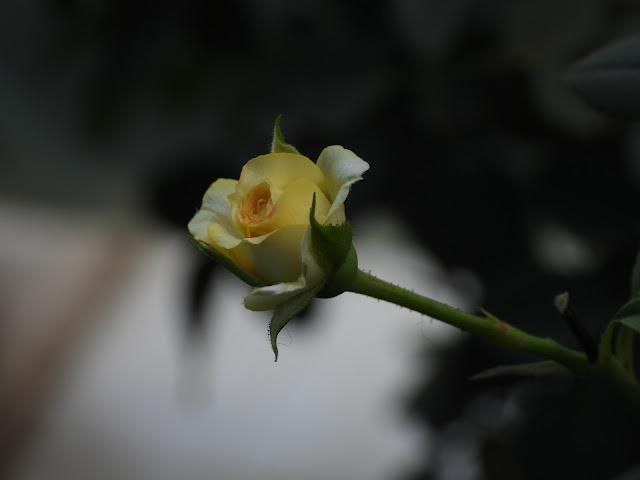 Rose - 6