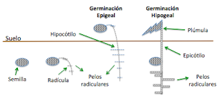 perkecambahan hipogeal epigeal