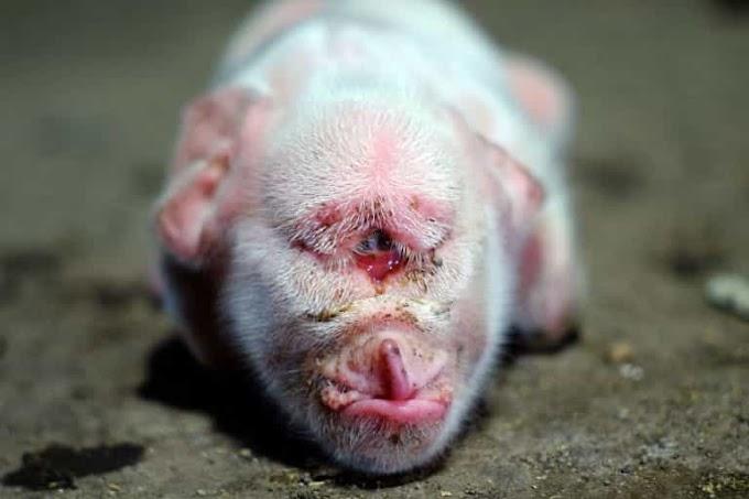 خنزير بعين واحدة,ولادة خنزير بعين واحدة,حيوان بعين واحدة,ظهور حيوان بعين واحدة,ظهور حيوان اسطوري بعين واحدة,حيوان بعين واحدة في اندونيسيا