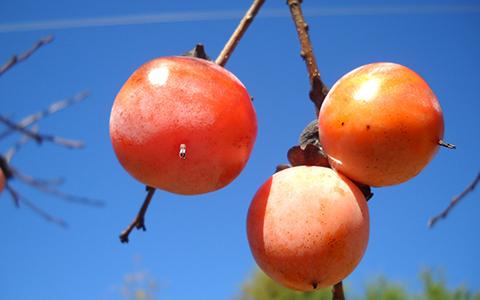 Persimmon species are tolerant to juglone