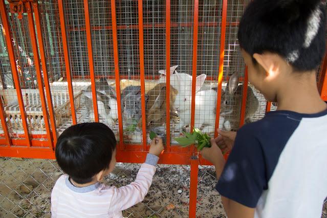 Bé thích thú với việc tự hái rau lang cho thỏ ăn