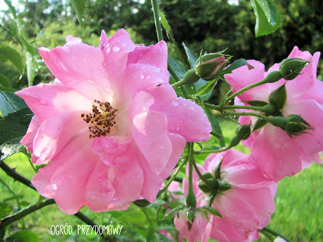 różowa róża pnąca w ogrodzie
