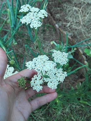 Raccogliere nell'orto erbe da seccare: achillea