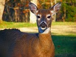 Picture of a doe facing the camera.