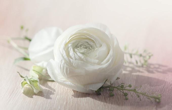 Flor Ranunculus, Flor Branca
