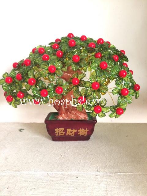 Cay hoa kim tien  tai Thanh Xuan