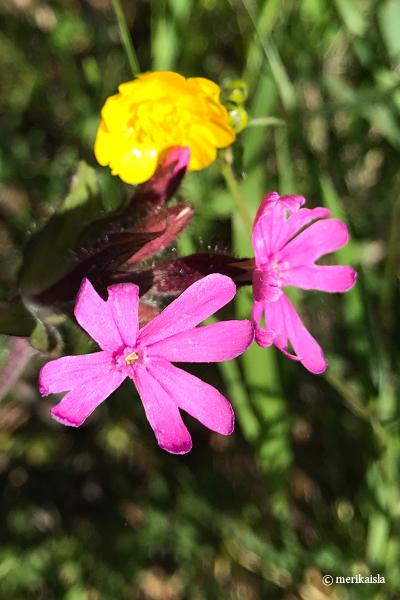 Pinkki luonnonkukka