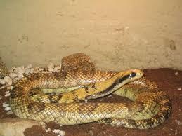 serpientes argentinas Ñacaniná Hydrodynastes gigas