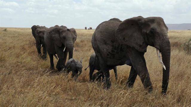 Gajah Beradaptasi Untuk Tidak Menumbuhkan Gadingnya Karena Pemburu
