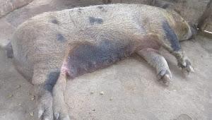 Akibat Virus Hog Cholera, 130 Ternak Babi Mati di Samosir