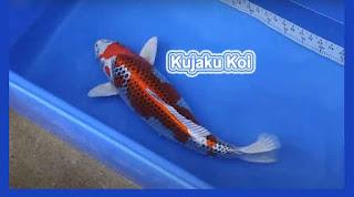 Ragam Jenis Ikan Koi Terbaik Untuk Dibudidayakan