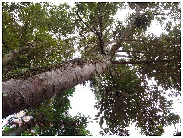 Kenapa putik durian asyik gugur je?